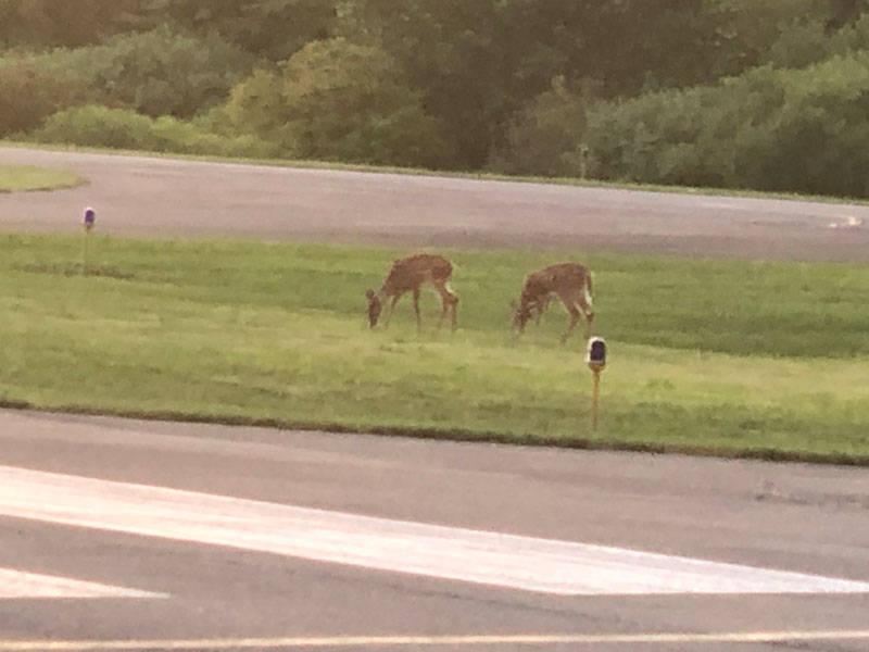 deer grazing on grass